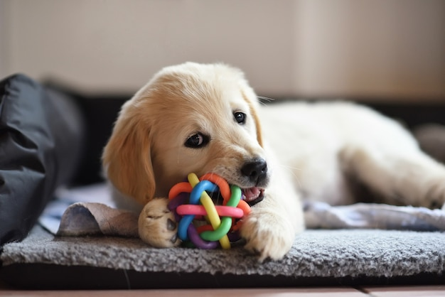 Golden retriever pies szczeniak gra z zabawką
