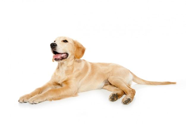 Golden retriever pies szczeniak odizolowywający