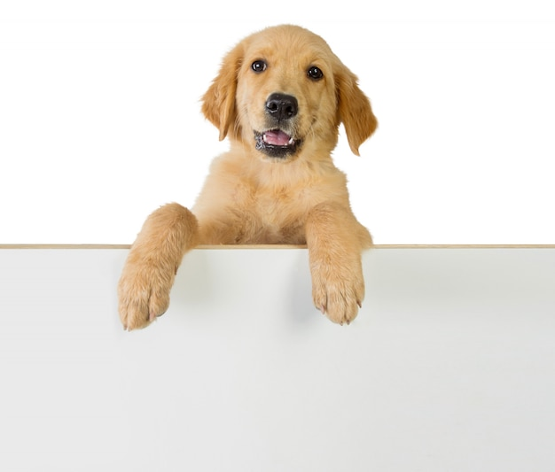 Golden retriever pies trzyma dalej białą puste miejsce deskę