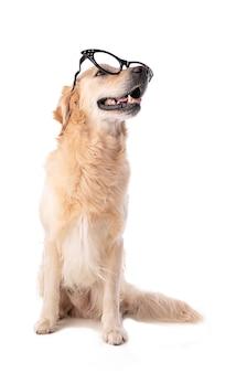 Golden retriever pies w okularach na białym tle