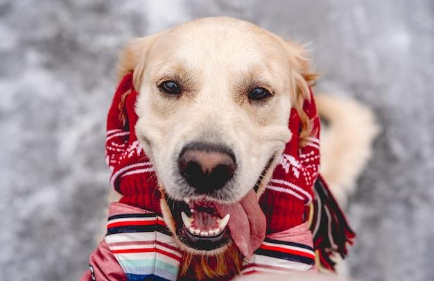 Golden retriever pies z językiem, ciesząc się rękami dziewczyny na zimowym tle przyrody