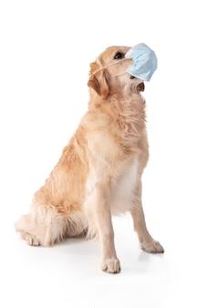 Golden retriever pies z maską ochronną na białym tle