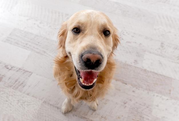 Golden retriever pies z otwartymi ustami, siedząc na podłodze i patrząc w górę