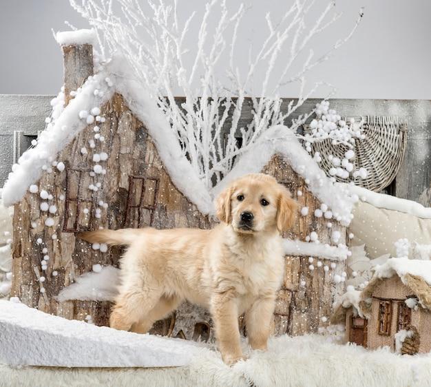 Golden retriever przed świąteczną scenerią