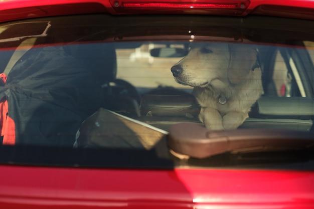 Golden retriever szczeniak w samochodzie