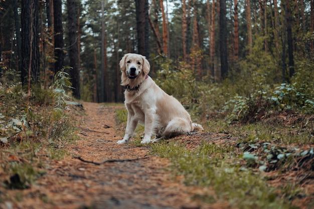 Golden retriever w lesie