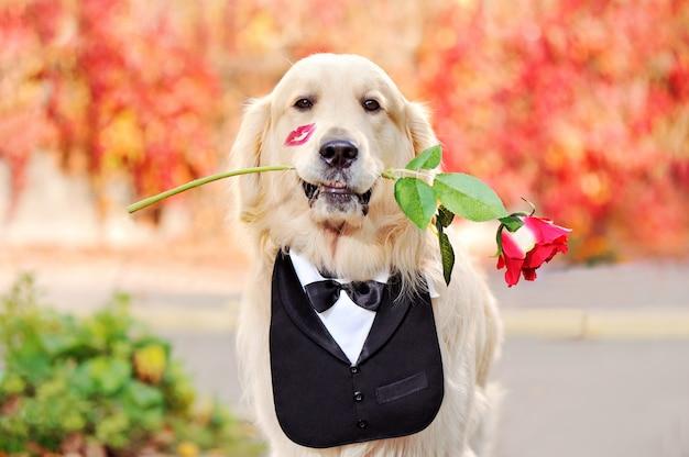 Golden retriever w smokingu kołnierzu trzyma różę w zębach