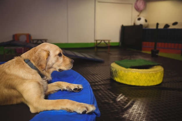 Golden retriever wypoczywa na trampolinie