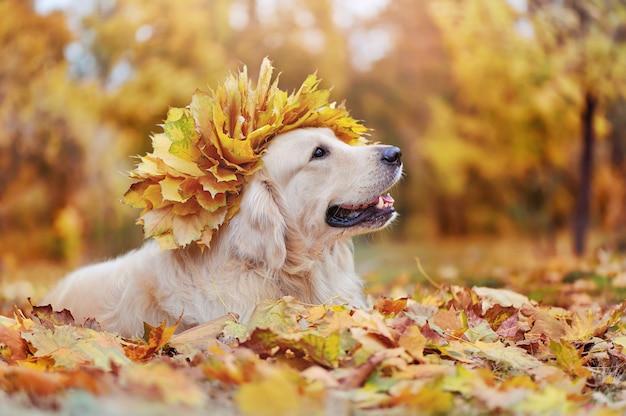 Golden retriever z wieńcem liści na głowie