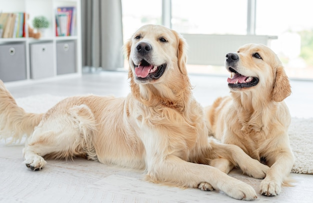 Golden retrieverów leżących na podłodze z głowami w domu