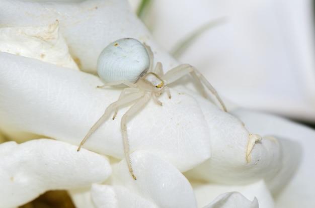 Goldenrod kraba pająk na kwiacie. fotografia makro.