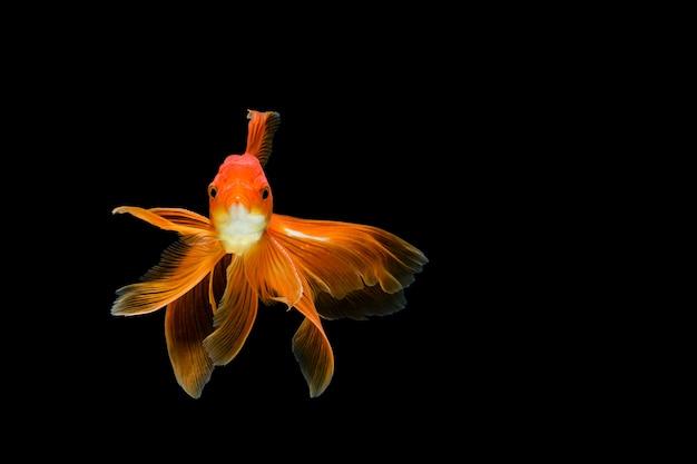 Goldfish izolowanych w ciemności
