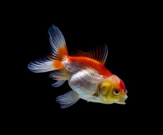 Goldfish odizolowane na czarno