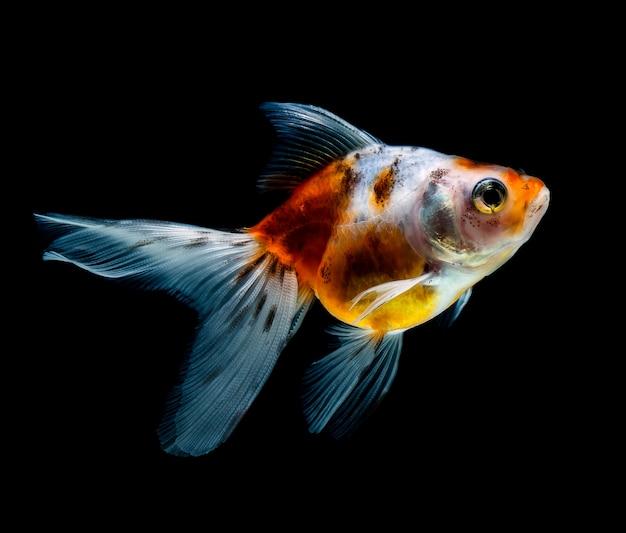 Goldfish odizolowywał na ciemnego czerni tle