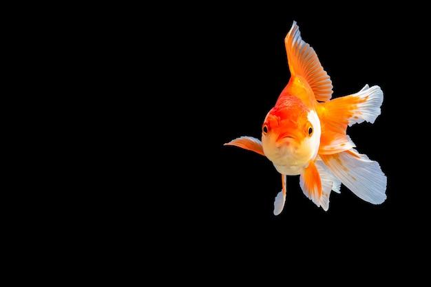 Goldfish oranda z czarnym copyspace