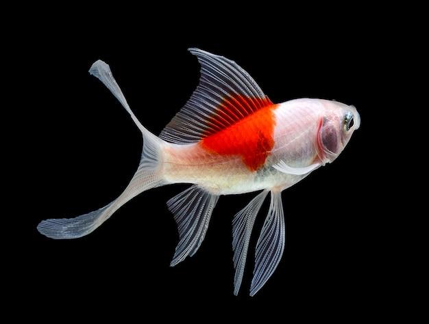 Goldfish pojedynczo na białej powierzchni