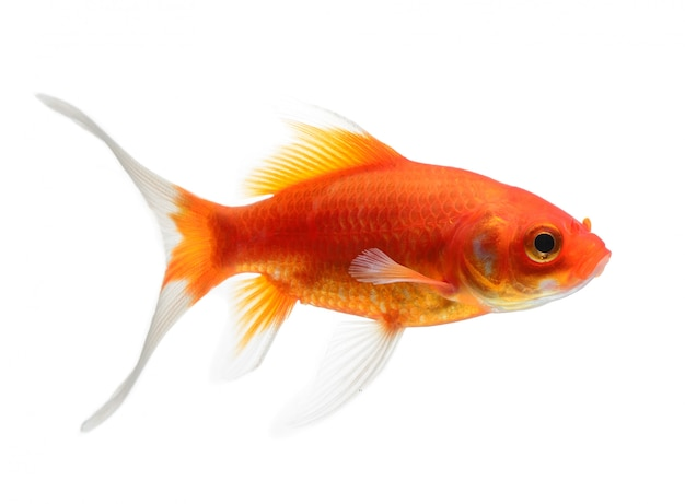 Goldfish pojedynczo na białej przestrzeni
