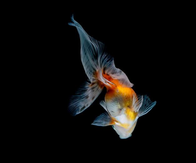 Goldfish samodzielnie na ciemnym tle czarnym