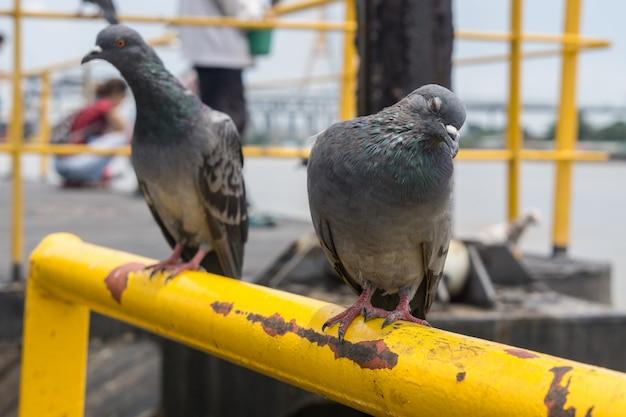 Gołębi ptak na plenerowym tle, gołębie przy portem.