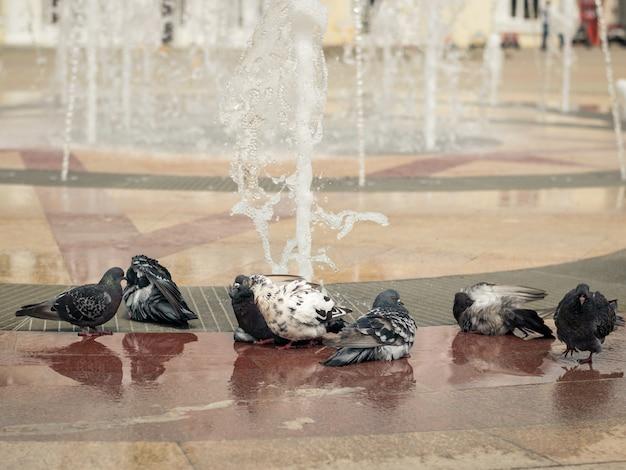 Gołębie bawią się pływając w fontannie miasta w gorący letni dzień.