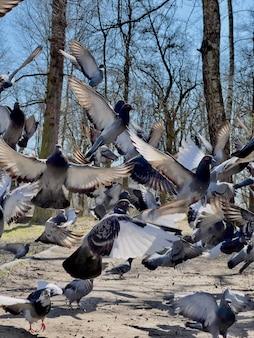 Gołębie latające w parku w słoneczny dzień z bliska.