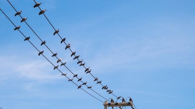 Gołębie ptasi chwyt na elektrycznym drucie