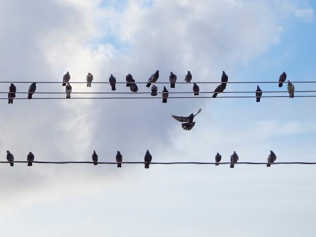 Gołębie siedzą na drutach elektrycznych i jeden w locie