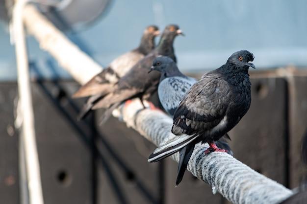Gołębie siedzą na dziurawcu statku. gruba lina przywiązana do cumowania. gołębie w porcie miejskim