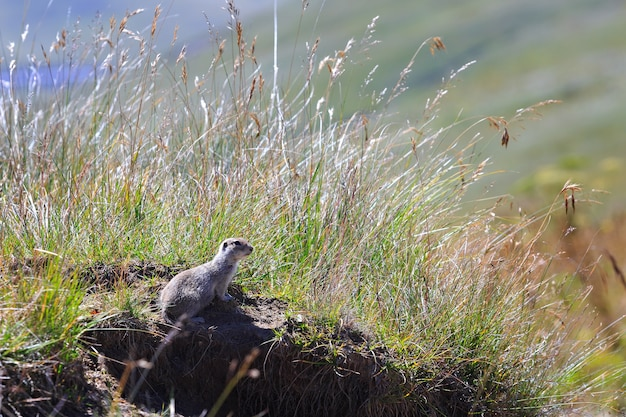 Gopher górski kaukaski w trawie na kaukazie północnym w rosji.