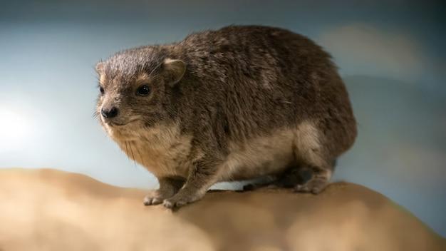 Góralek górski procavia capensis, zwany także borsukiem kamiennym, królikiem kamiennym i góralkiem przylądkowym stojącym na kamieniu