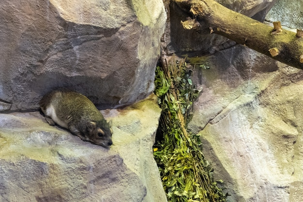 Góralek skalny z żółtymi plamkami lub góralek krzewiasty (heterohyrax brucei) to gatunek ssaka z rodziny procaviidae.