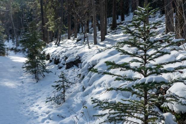 Górska ścieżka pokryta śniegiem w lesie w sezonie zimowym słoneczny dzień rano. szlak jezior grassi, canmore, alberta, kanada.