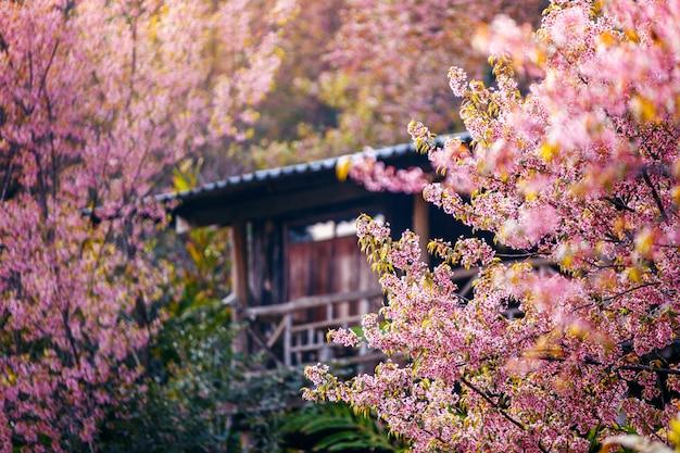 Górska wioska z pięknym różowym czereśniowym okwitnięciem, sakura kwiatu kwitnienie, khun chang kian, chiangmai, tajlandia