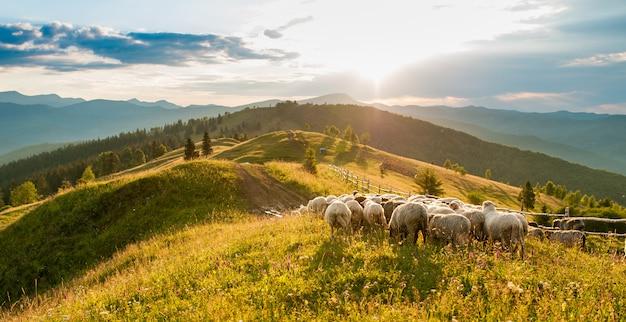 Górski grzbiet z owcami o zachodzie słońca.