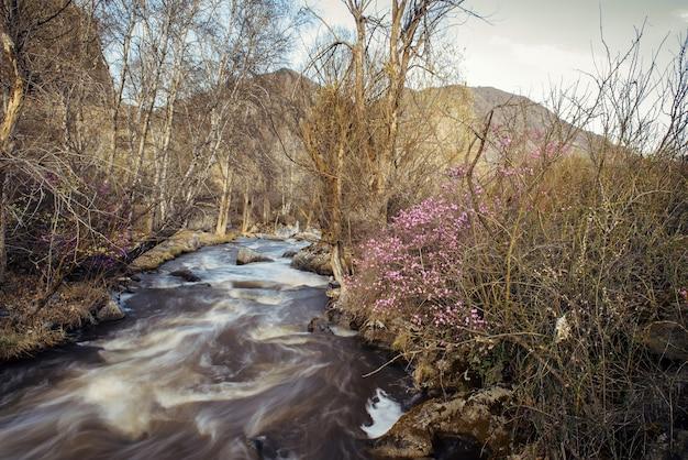 Górski krajobraz wczesną wiosną. koniec zimy, błotnista woda roztopowa w burzliwym strumieniu. na brzegu początek kwitnienia krzewu rododendronów. dzika przyroda ałtaju.
