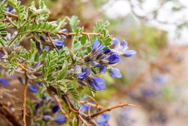 Górskie wiosenne kwiaty regionu himalajów