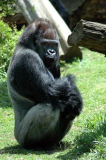 Goryl, małpa