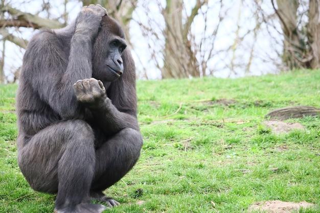 Goryl siedzi na trawie i drapie się po głowie