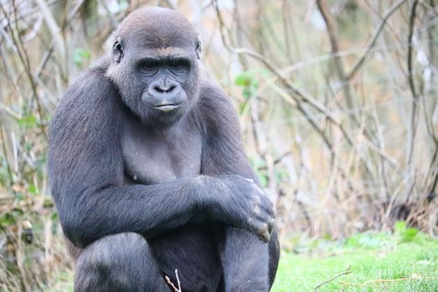 Goryl siedzi na trawie, patrząc w dół