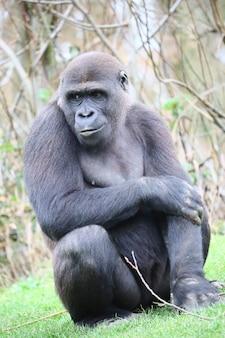 Goryl siedzi na ziemi, patrząc na bok