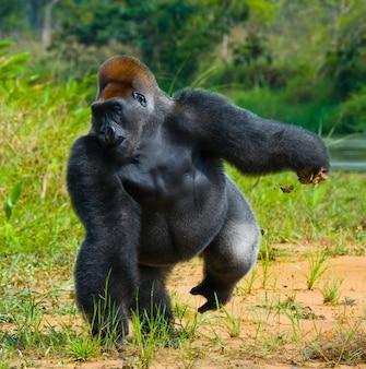 Goryle nizinne na wolności. republika konga