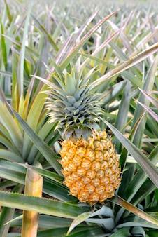 Gospodarstwo ananasowe