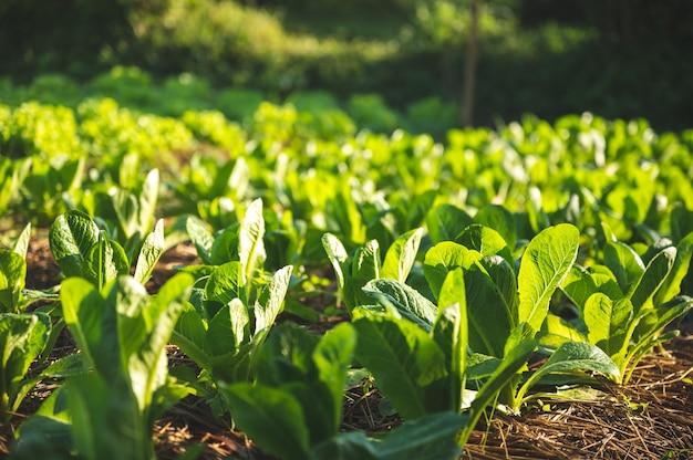 Gospodarstwo warzywne z zieloną przyrodą, koncepcja rolnictwa ekologicznej surowej żywności dla dobrego stylu życia, uprawa organicznej sałaty na polu, zdrowa, czysta żywność