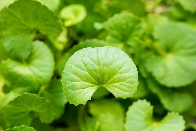 Gotu kola lub centella asiatica zielone liście na białym tle.