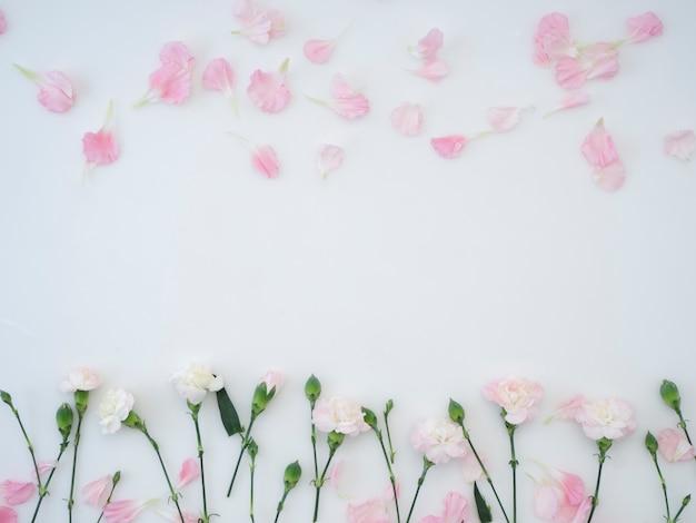 Goździki kwitną na białym tle