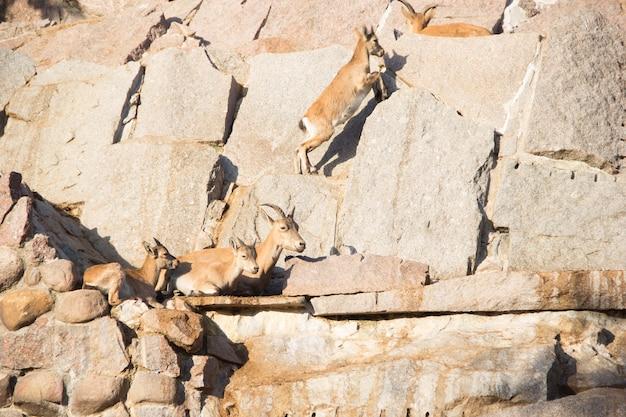 Gra w kozy na kamieniach. kozioł górski z dziećmi.