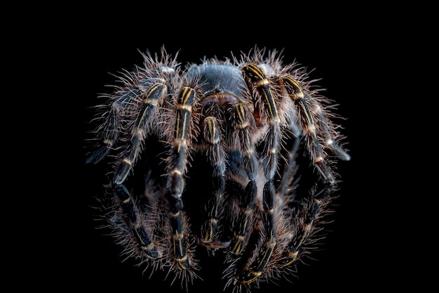 Grammostola pulchripes tarantula chaco golden knee