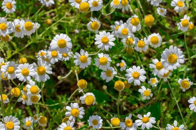 Granica kwiatów pola rumianku. medycyna alternatywna wiosna daisy. letnie kwiaty. piękna łąka. lato w tle.