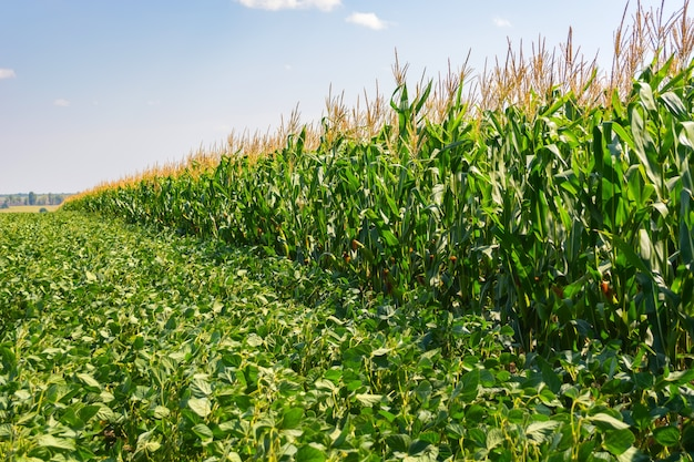 Granica pól soi i kukurydzy latem.