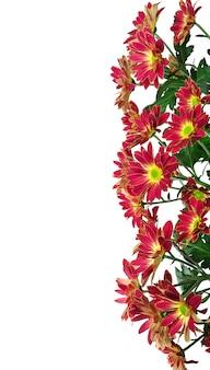 Granicy chryzantemy kwiaty na białym tle